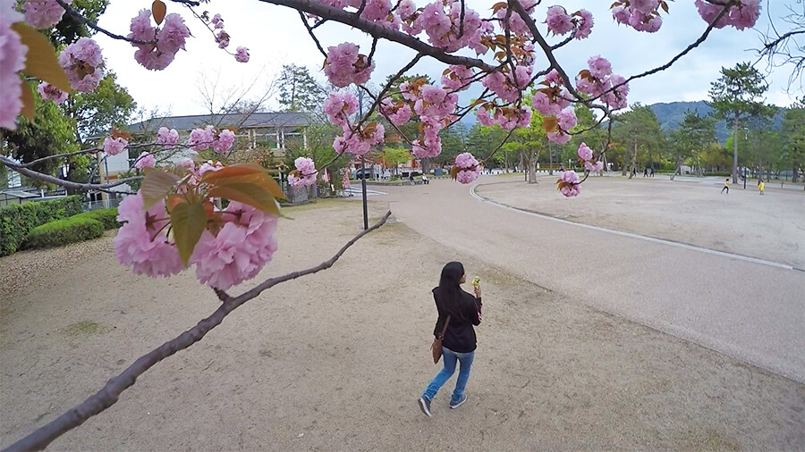 cherry blossoms tree at Heian Shrine Palace in Kyoto