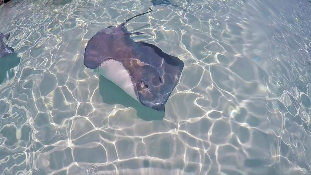 Travel to Grand Cayman and visit Stingray City for once in a lifetime experience