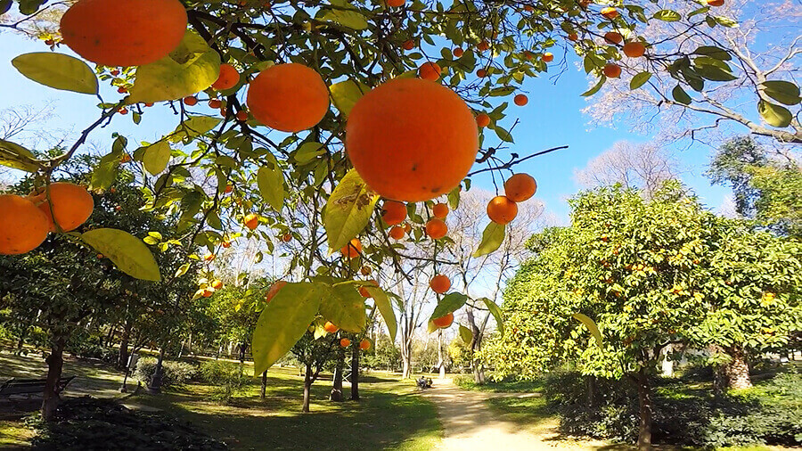 Stunning oranges trees at Maria Luisa Park Plaza de Espanan in Seville