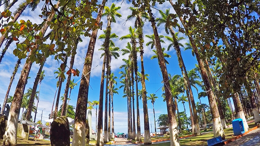 Palm trees in Vargas Park, Limon Costa Rica