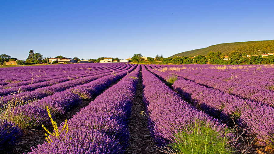 Lavender fields in Simiane la Rotonde